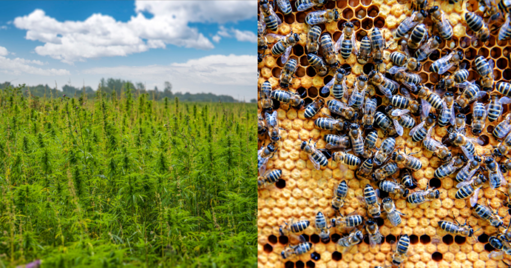 Study Suggests That Planting More Hemp Could Help Maintain Bee Populations
