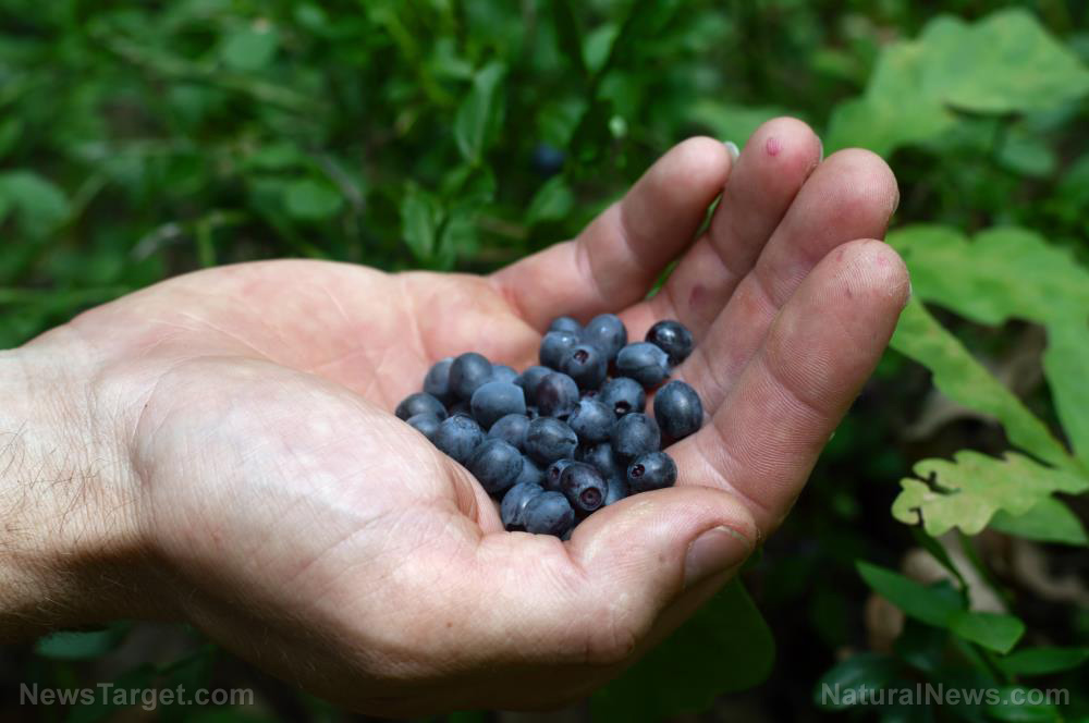 Studies look into the benefits of blueberries for heart disease, diabetes prevention
