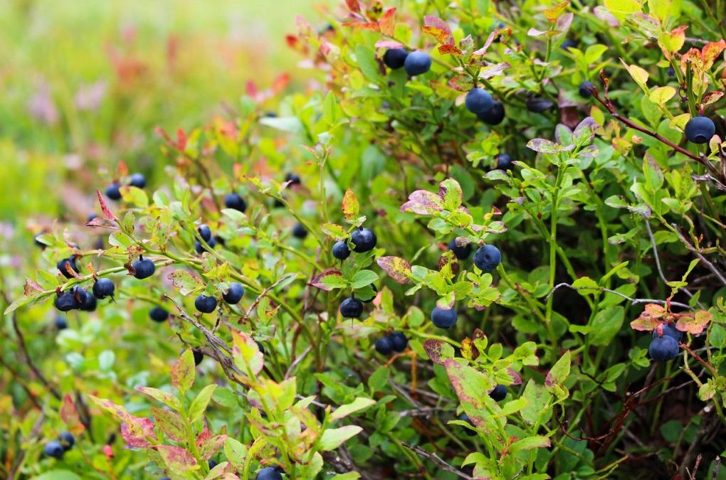 Natural Probiotic? Blueberry And Persimmon Powders Beneficial For Gut Microbiota