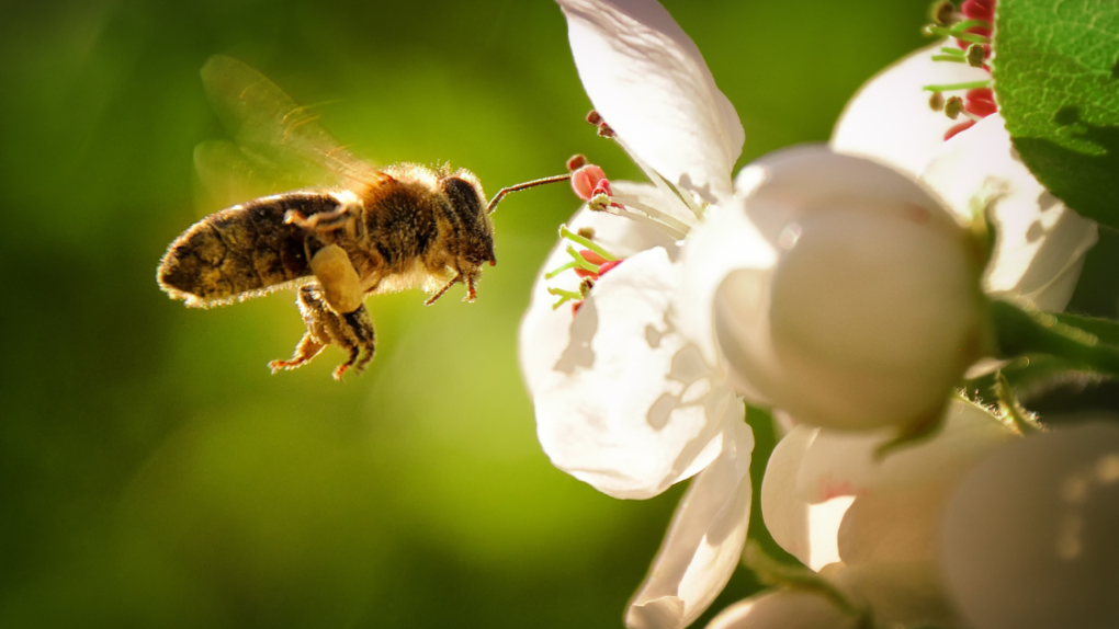 Pesticides And Food Scarcity Dramatically Reduce Wild Bee Population