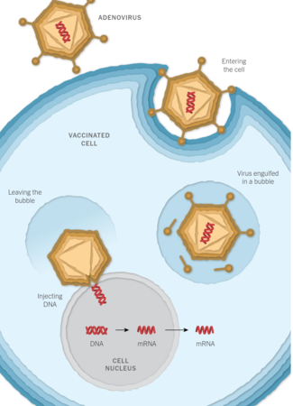 Johnson & Johnson vaccine introduces DNA into your cell nucleus and introduces a gene. What could go wrong?