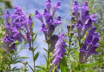 Skullcap: Why This Hooded Herb Deserves Your Attention