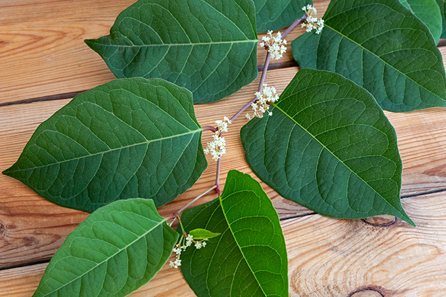 STUDY: Japanese knotweed extract (resveratrol) may help reduce cancer risk linked to processed meat (sodium nitrite)